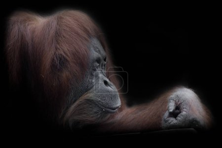 In profile side, pensive. Face of a smart oranguta...