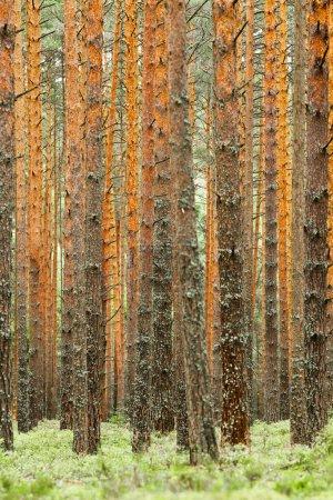 Photo pour Forêt de pins rouges (orange) et sol vert belle image de fond d'un mur dense d'arbres (mur de troncs d'arbres). - image libre de droit