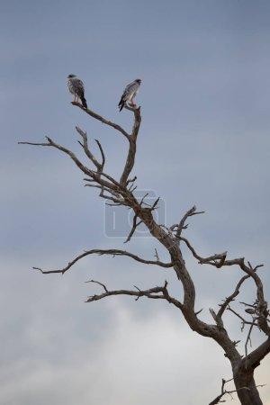 Paar blasser Singfalken, Melierax canorus, Greifvogel