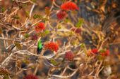 Beautiful, sparkling green african bird, Malachite sunbird, Nectarinia famosa, male perched on red flowering bush