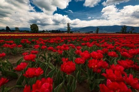 tulips against  dark mountains
