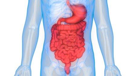 Photo pour Anatomie du système digestif humain (estomac avec intestin grêle). 3D - Illustration - image libre de droit
