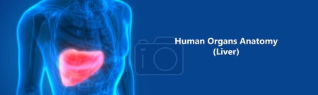 Photo pour Human Internal Digestive Organ Liver Anatomy. 3d - image libre de droit