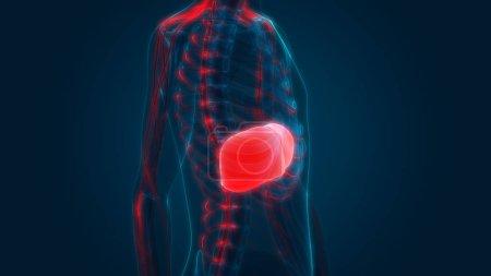 Photo pour Human Internal Digestive Organe Liver Anatomy. 3D - image libre de droit