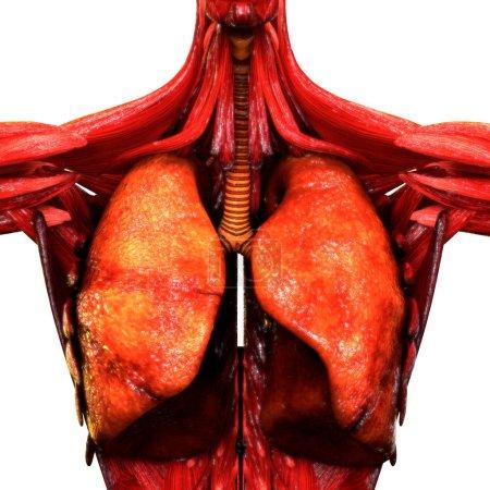 Photo pour Organes du corps humain (anatomie pulmonaire). 3d - Illustration - image libre de droit