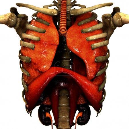 Photo pour Organes du corps humain Anatomie. 3D - Illustration - image libre de droit