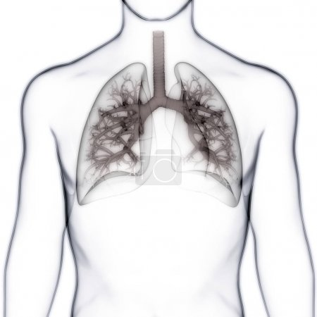 Photo pour Anatomie pulmonaire du système respiratoire humain. 3D - image libre de droit
