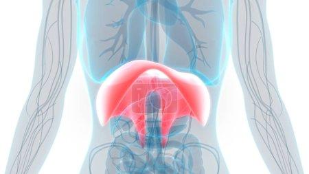 Photo pour Anatomie du diaphragme respiratoire humain. 3D - Illustration - image libre de droit