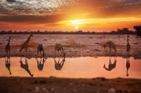 Giraffe animals in wild nature