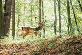Beautiful deer with branched horns stands on a hill in an autumn forest among trees. Selective focus on grass, deer blurred in the background