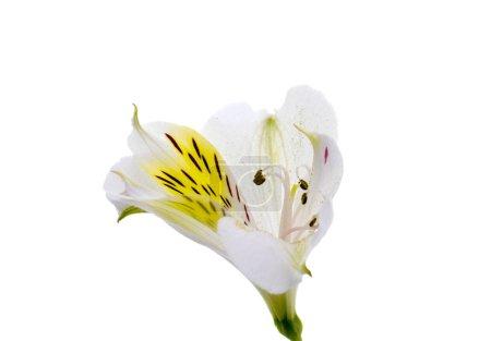 Alstroemeria flower head closeup isolated