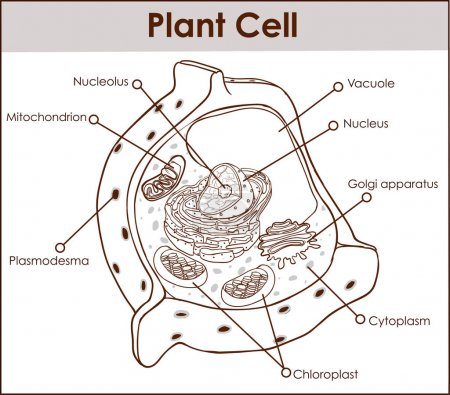 Plant cell isolated on white photo-realistic vecto...