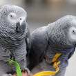 Постер, плакат: African grey parrots