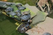 European marsh turtles
