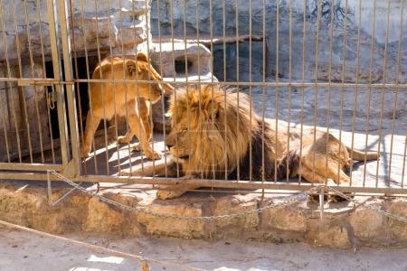 A pair of lions in captivity in a zoo behind bars. Power and aggression in the cage.