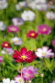 Red, white and pink cosmos flowers blooming in the garden