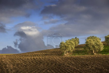 Between Apulia and Basilicata: hilly landscape with olive grove on plowed land dominated by clouds, Italy.