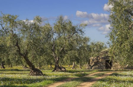 Italy landscape: Apulia countryside. Flowery field with olive trees and trullo.