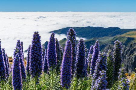 Pride of Madeira flowers