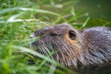 Adult beaver eating a plant. Beaver in a lake. Bea...