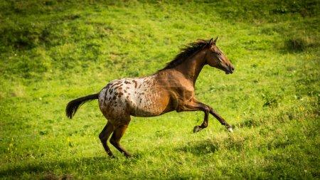 Running horse on a meadow in the Slovakian region Orava