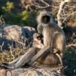 Langur monkeys sitting on stone and breastfeed. Ma...