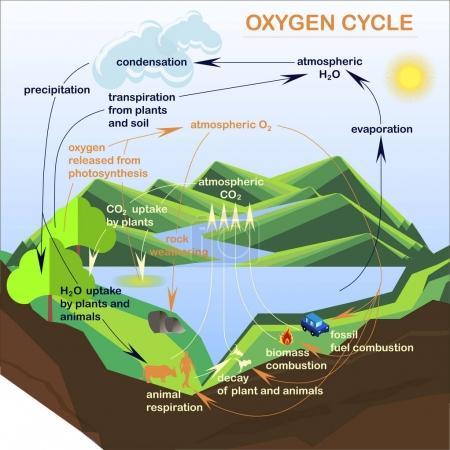 Schema des Sauerstoffzyklus, Flats Design Stock Vector Illustration