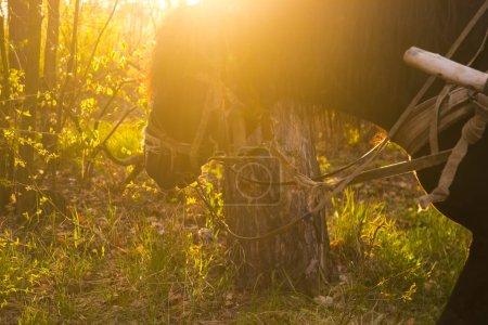 el caballo pastorea hierba