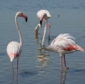 Group of big pink flamingo birds in national park Camargue, Fran