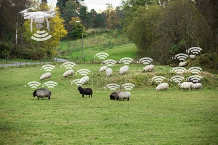Drone counts sheep.