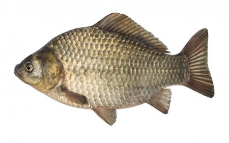 Raw fish crucian carp isolated on the white backgr...