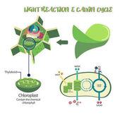 Photosynthesis process diagram