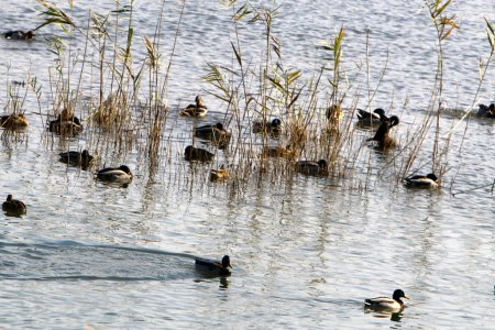 Duck on the lake in the Hula Valley in northern Is...
