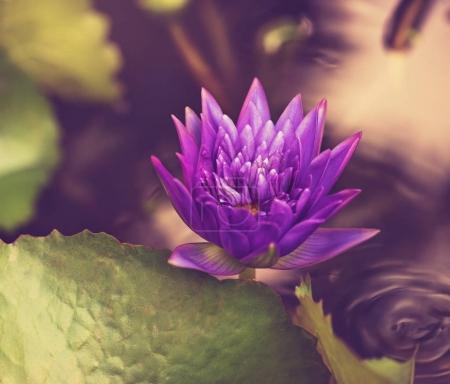 beautiful  purple lotos