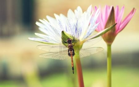 beautiful lotos with dragonfly