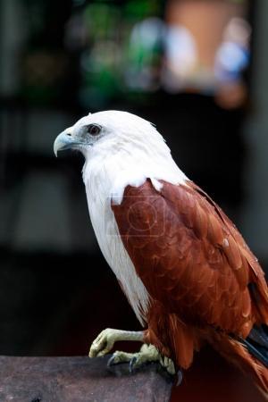 Photo pour Aigle sur la table, Philippines - image libre de droit