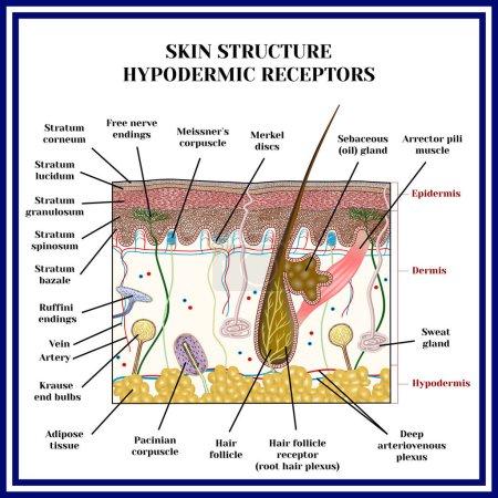 Skin structure. Hypodermic receptors.