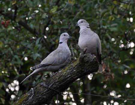 Photo pour Une paire de colombe à collier eurasienne assise sur une branche d'arbre - image libre de droit