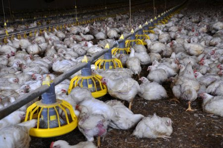Broiler chickens near feeders_2