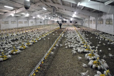 Farm for growing broiler chickens