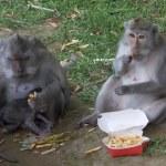 ULUWATU, INDONESIA - MARCH, 19, 2018: macaque monk...