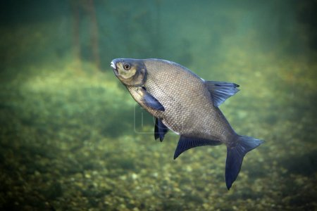 Bream is a freshwater fish