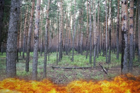 Photo pour Fire in the forest, the concept of protecting the forest from a fire - image libre de droit
