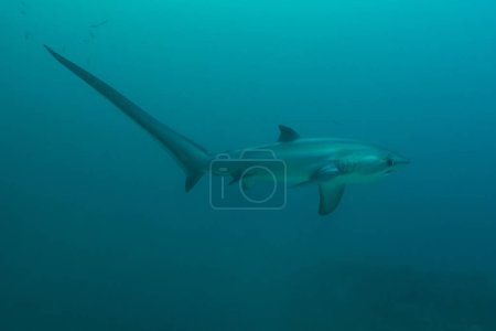 Photo pour Un portrait de profil de requin-renard, montrant une queue extrêmement longue. Monad Shoal, Malapascua, Philippines, novembre - image libre de droit