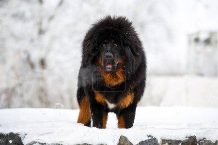 beautiful Tibetan mastiff. big dog on the background of winter nature