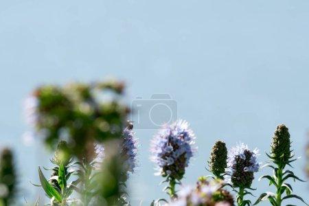 Photo pour Fierté de fleur de madère plan rapproché avec fond flou - image libre de droit
