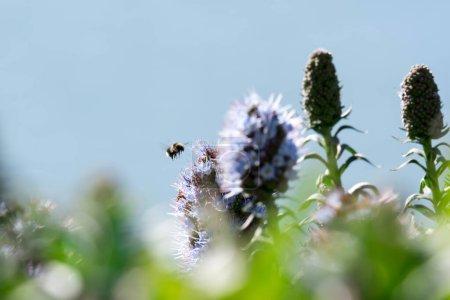 Photo pour Fierté de fleur de madère gros plan avec bourdon flou volant - image libre de droit