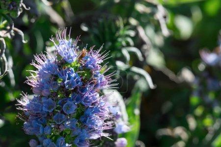 Photo pour Fierté de fleur de madère plan rapproché avec fond vert flou - image libre de droit