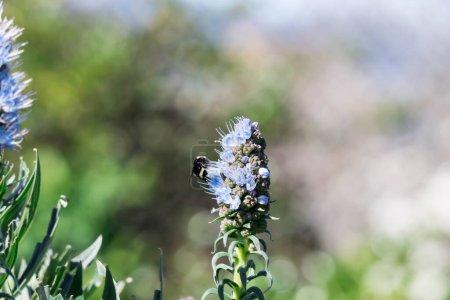 Photo pour Fierté de fleur de madère gros plan avec bourdon flou volant et manger son nectar - image libre de droit