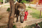 Elephant SUZI and trainer in the Lahore Zoo, Punja